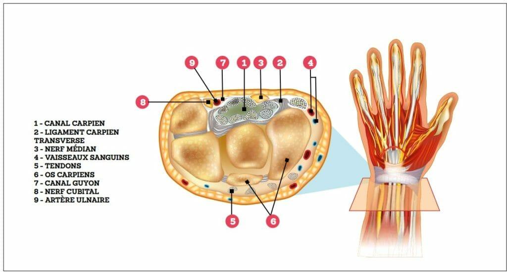 Syndrome du canal carpien: présentation anatomique